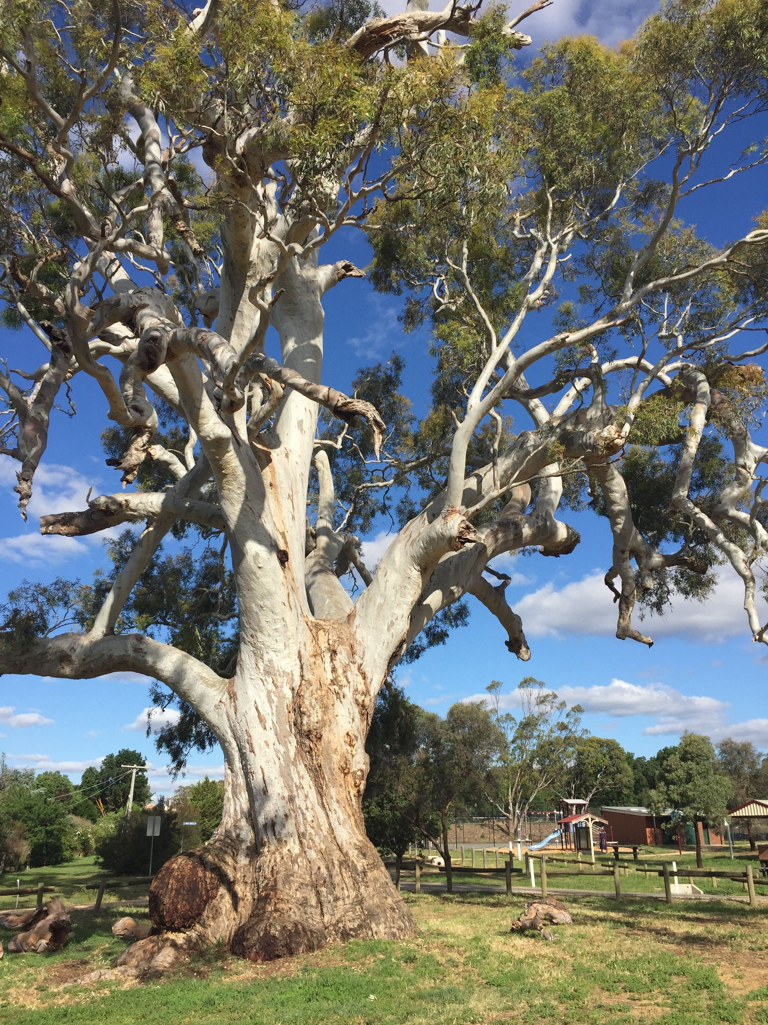 River red gum (Eucalyptus camaldulensis), growing near the town of  Daylesford, VIC, Australia | Eucalyptus tree, Australian trees, Australia  landscape