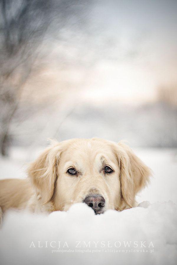 Golden Retriever Snowdogs Spaniel Terrier Dog Photography Puppy