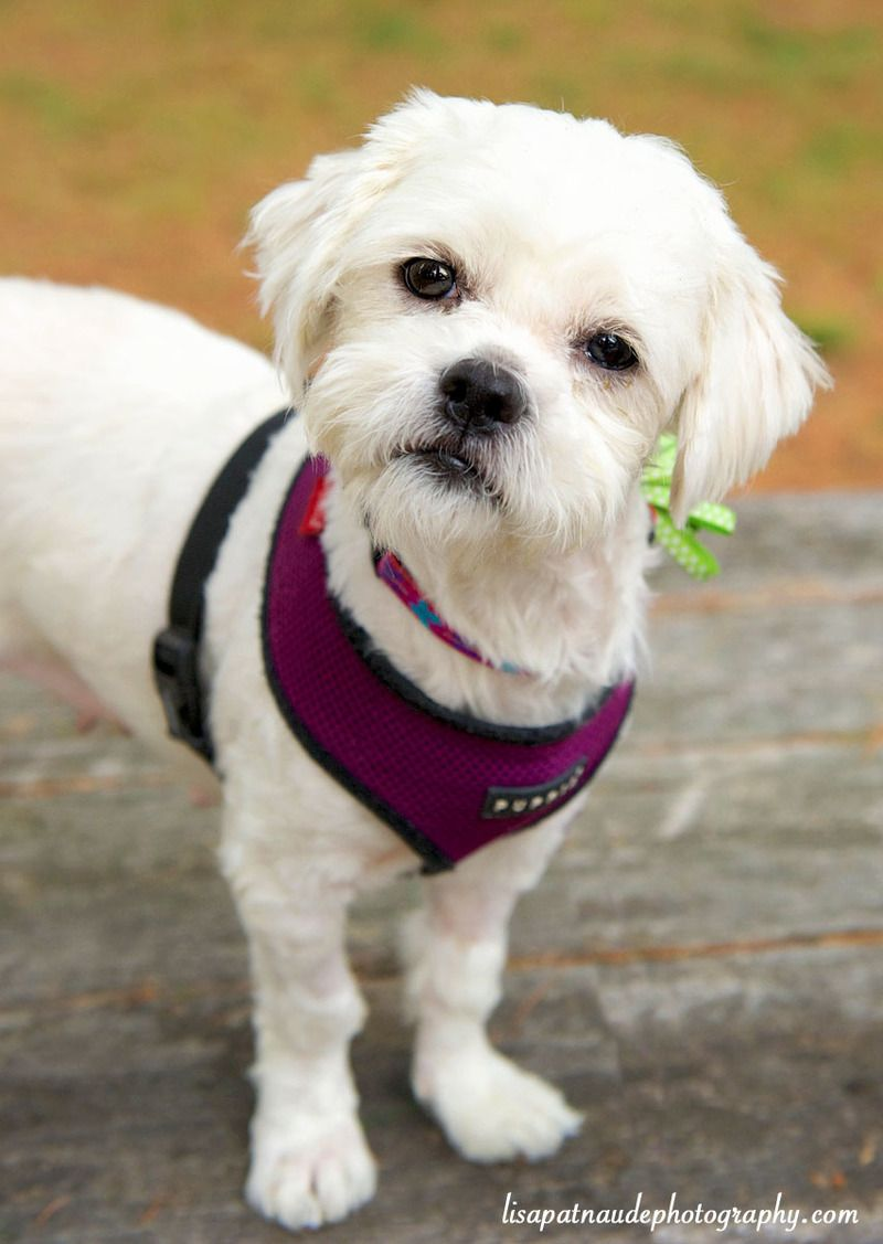Shih Tzu Mix Adult Female Small Broken Tail Rescue Worcester