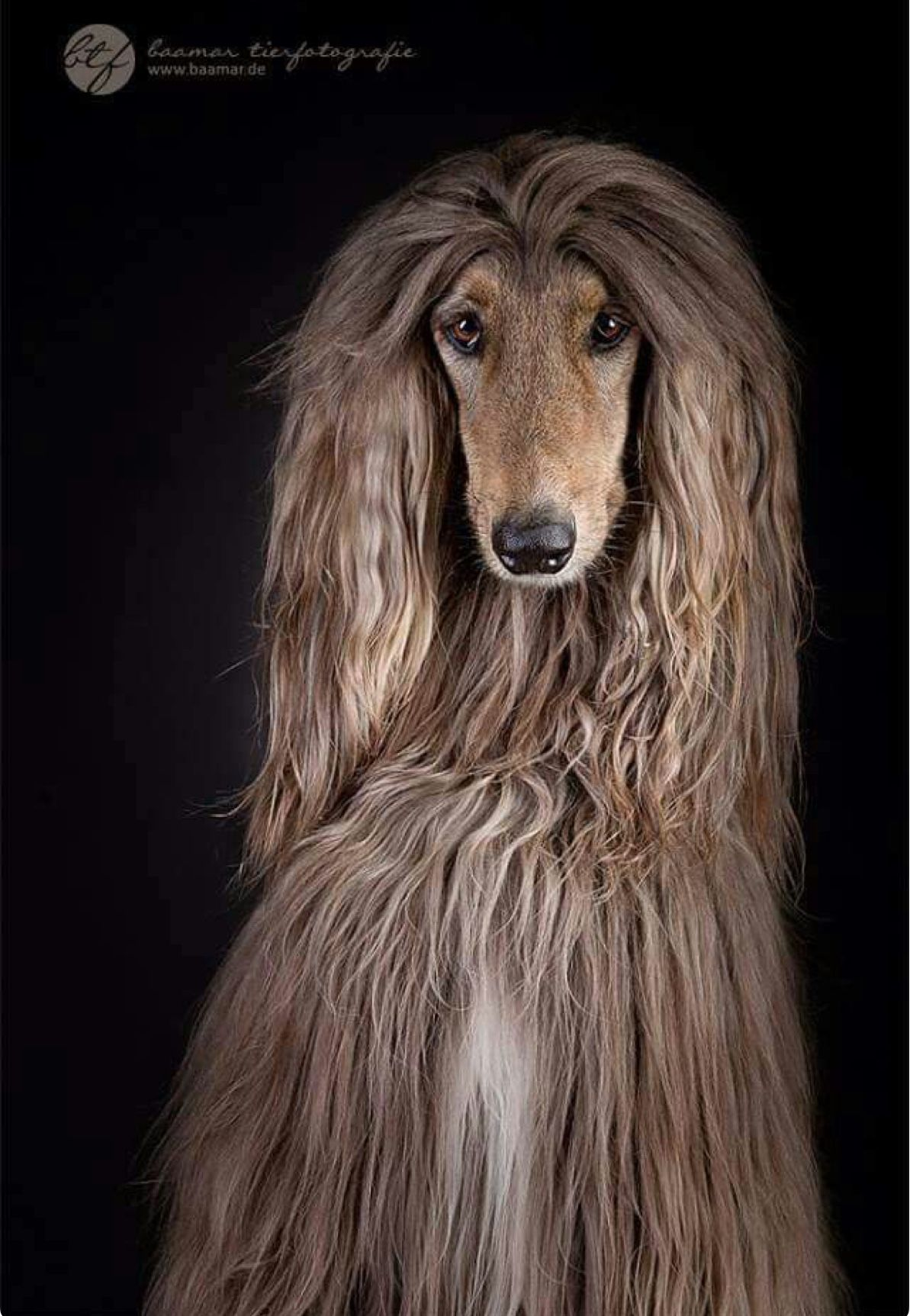 Shaggy Afghan Hound This Spectacular Dog Breed Originated In