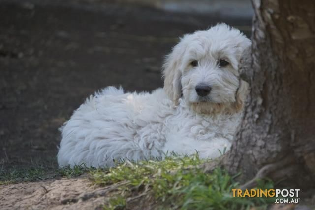 Gorgeous Groodle Puppies Golden Retriever X Poodle For Sale In