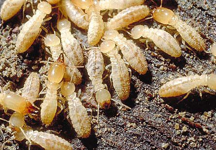 entomology 462 orders of hexapoda order isoptera termites