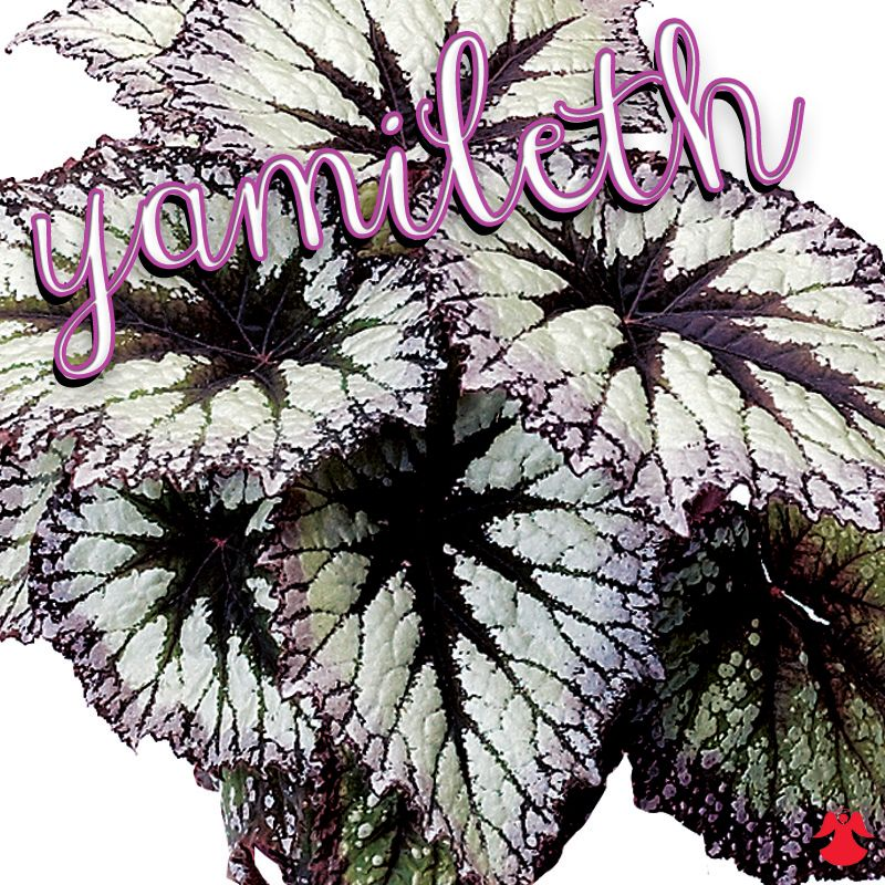 Begonia Yamileth Rex Begonias Are Among The Most Handsome