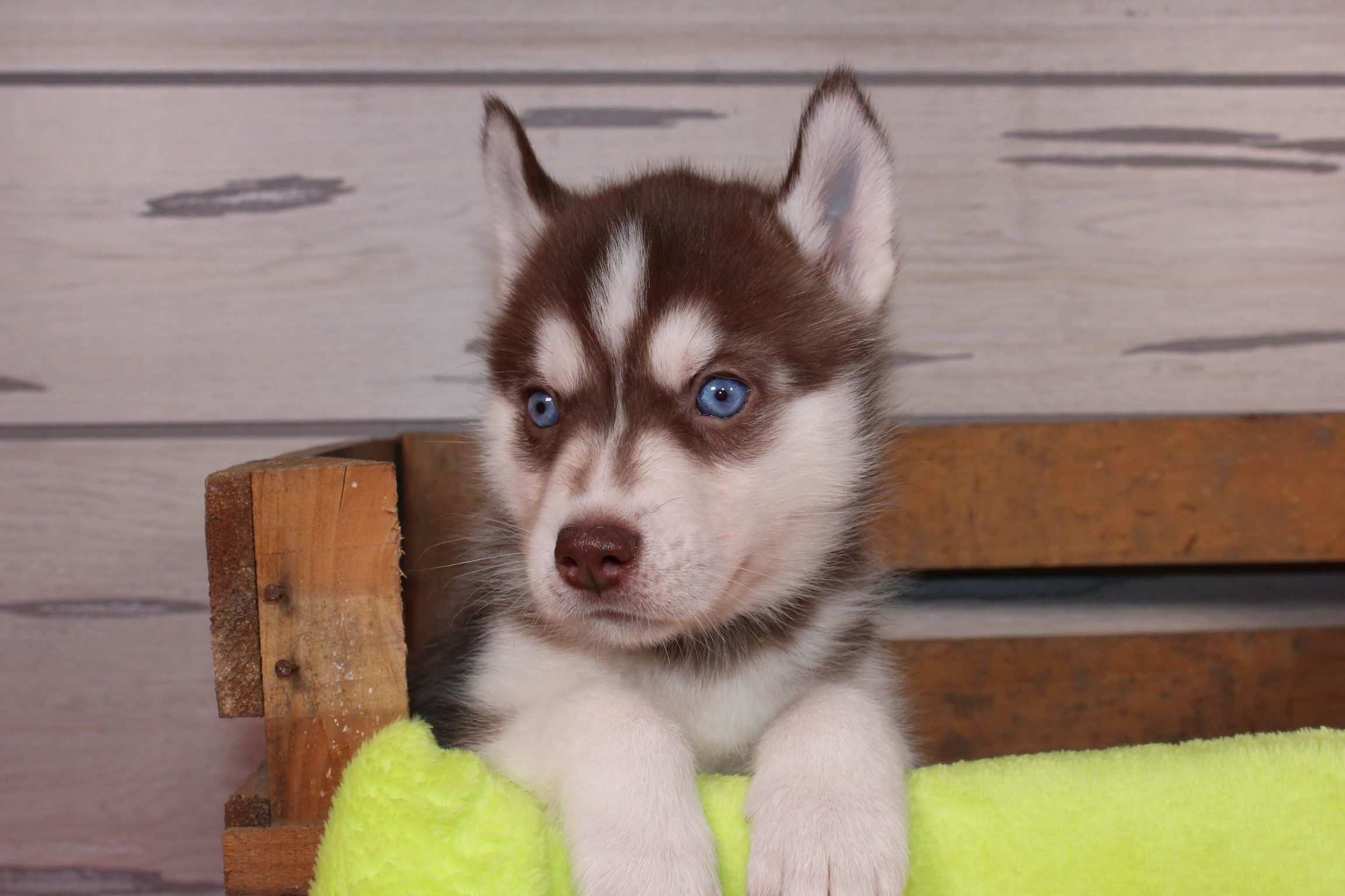 Nuka A Iabca Champion Siberian Husky Puppy Born In Indiana With