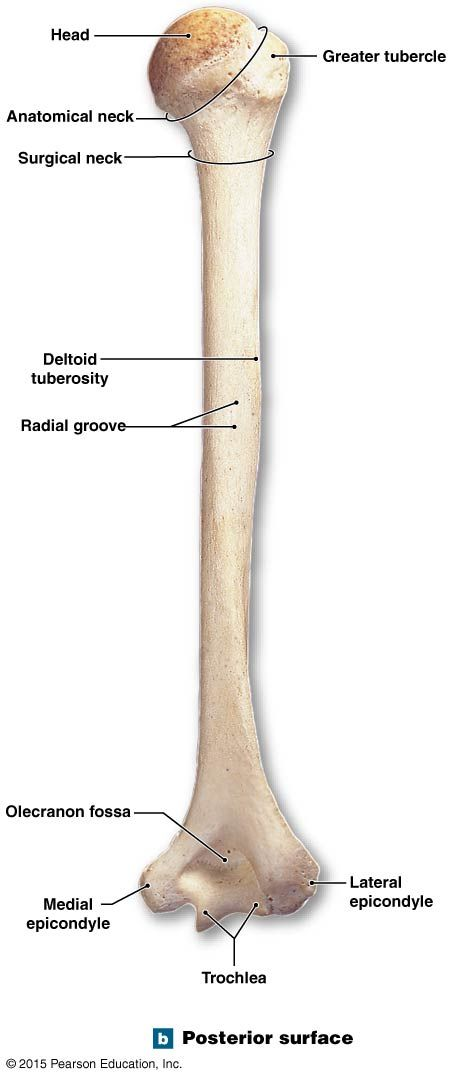 Posterior Surface Of The Right Humerus And Elbow Joint Anatomy And