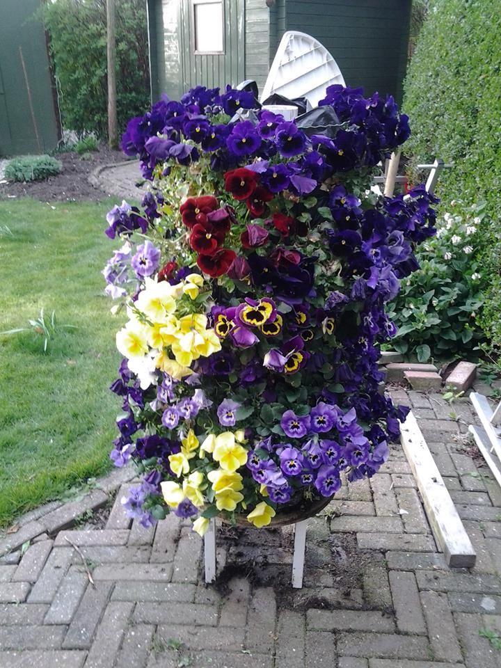 Zo ziet het er uit met winter violen.