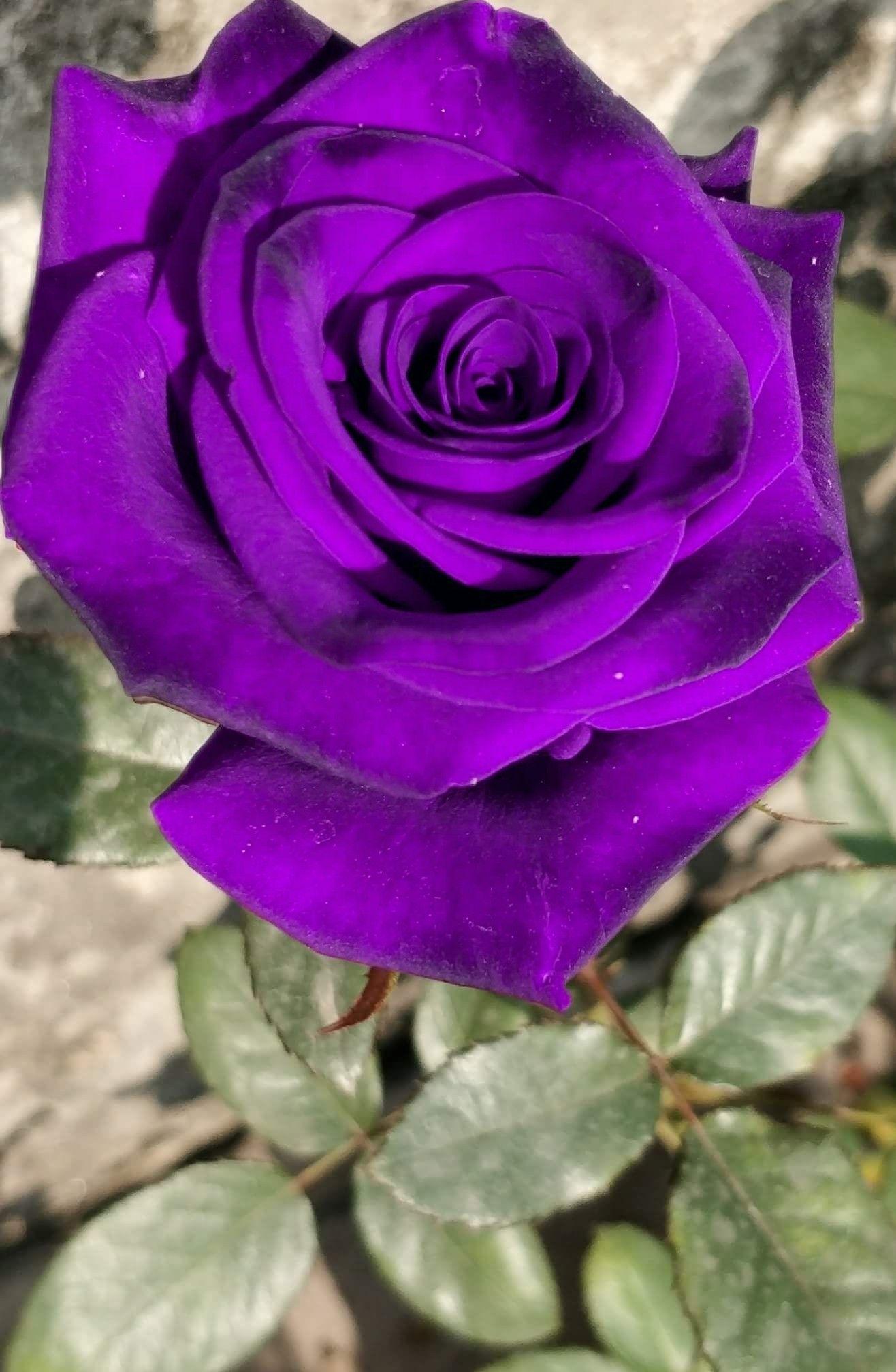 Bonita Rosa Rosas Púrpuras Rosas Y Flores