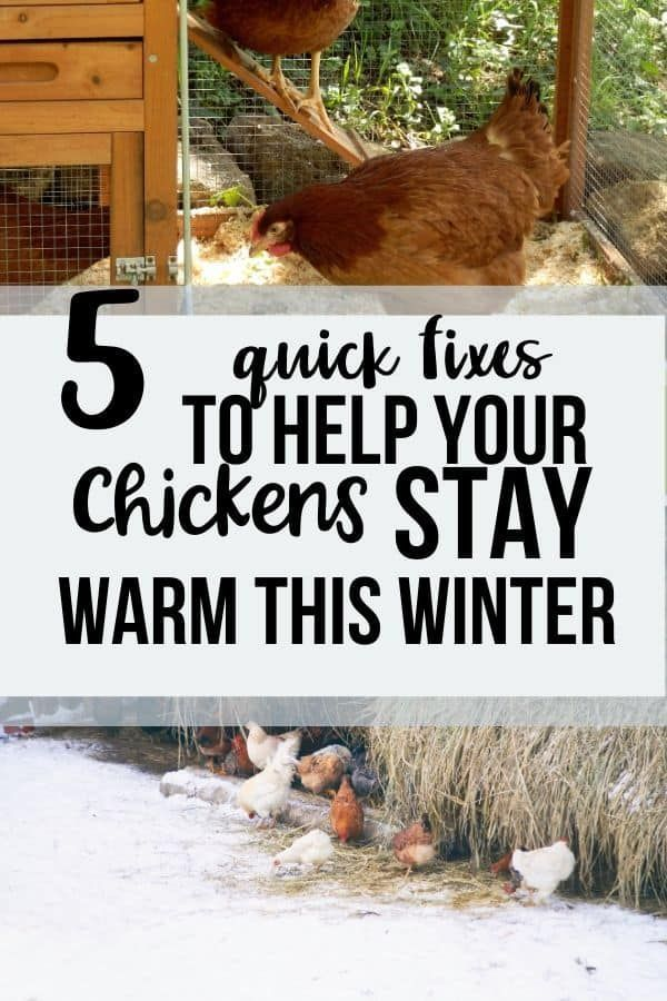5 Frugal Ways to Keep Your Chickens Warm   Chickens ...
