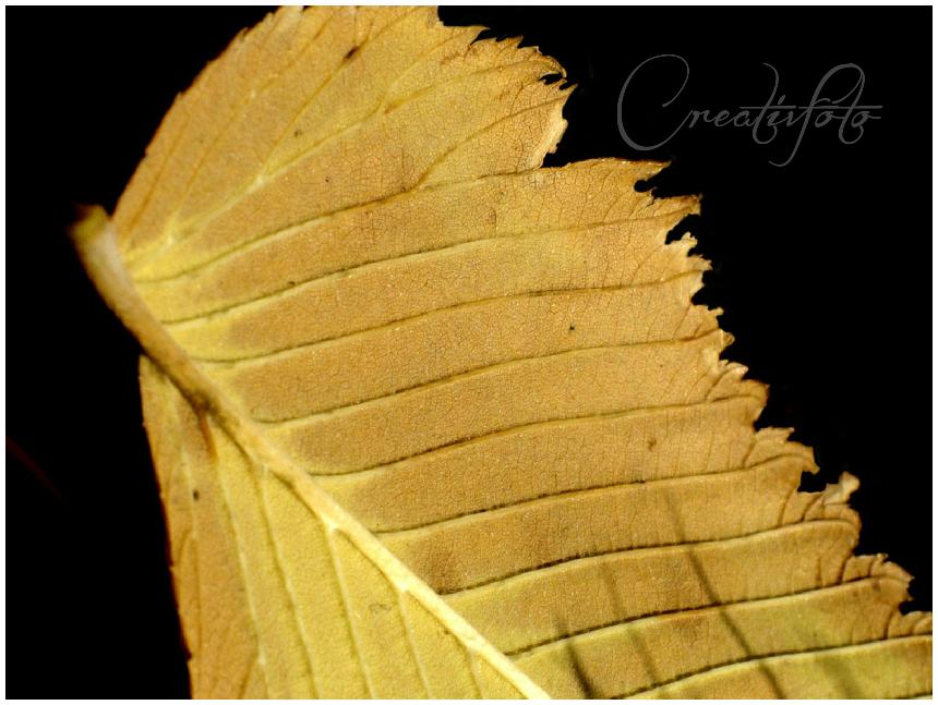 Kristen Olivares-Fine Art Photography- Sunlight on a fall leaf
