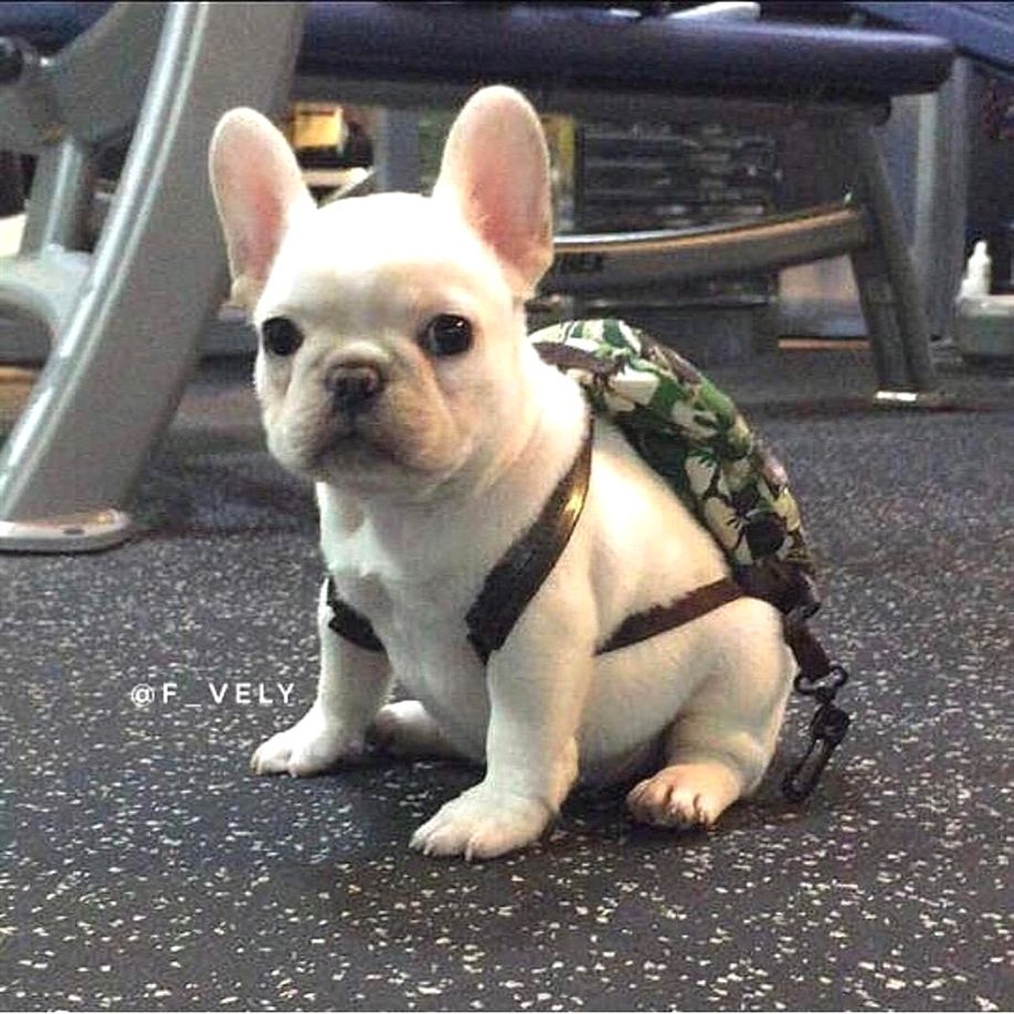 Who S Ready For Back To School I Am French Bulldog Love