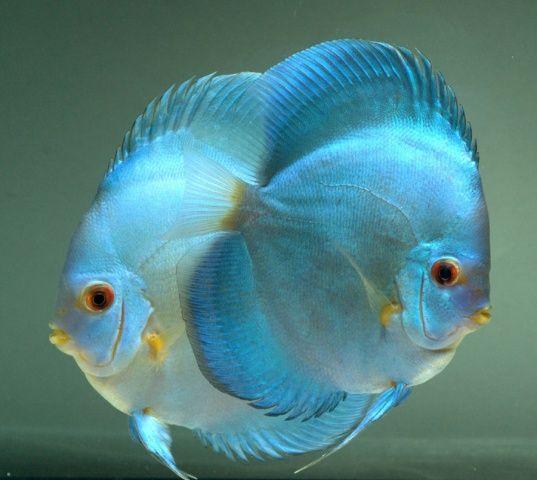 Que hermosos discus turquoise bellisimos for Best place to buy discus fish