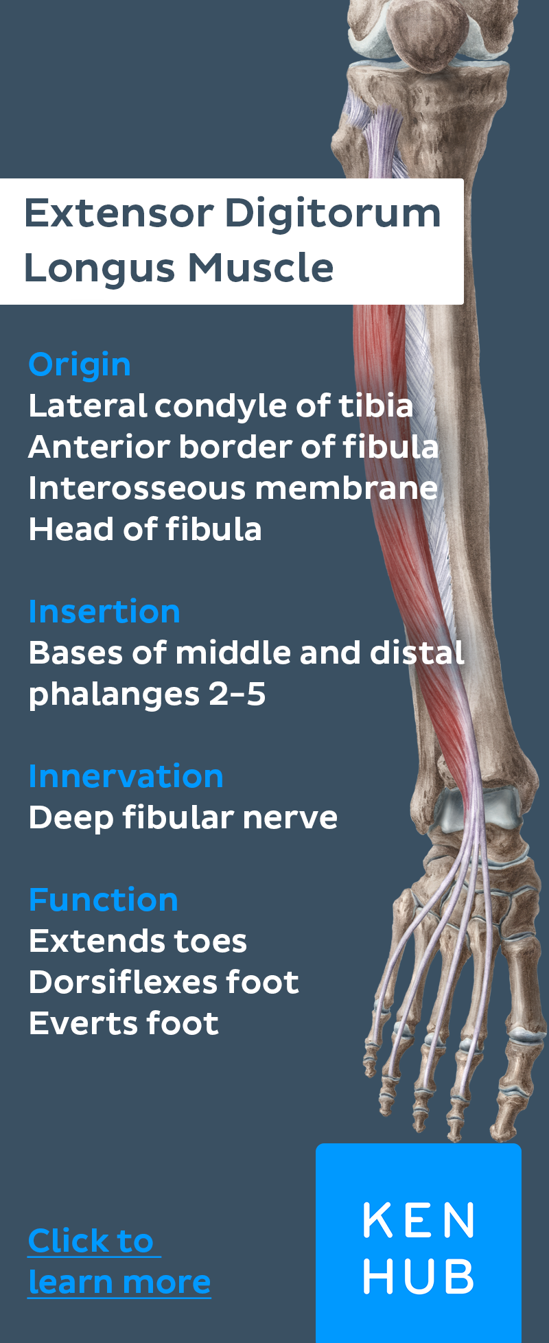 The anterior muscles of the leg | Muscle anatomy, Anatomy and Muscles