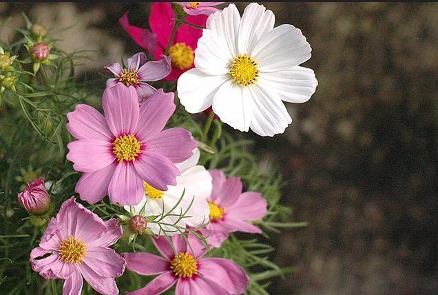 Coreopsis Flower .. For More.. http://flowerhomes.blogspot.com https://facebook.com/flowerofworld