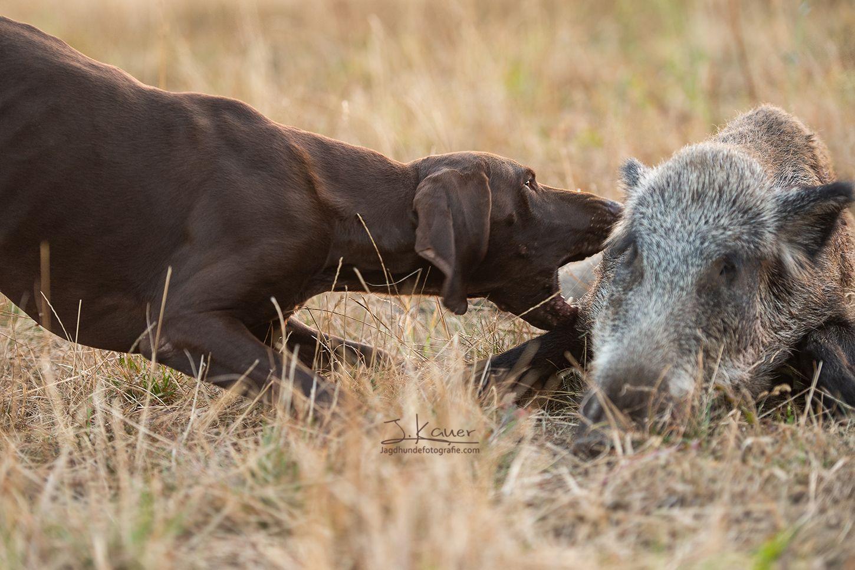 Jagdhunde Hunting Auf Pin Gundogs Dogs zVqUpGSM
