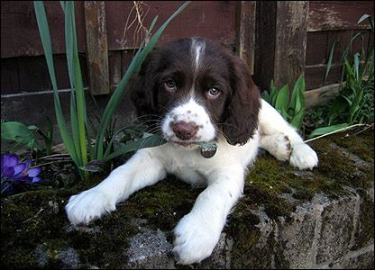 Pin By Elaine B On Animals In 2020 With Images Springer Spaniel Spaniel Breeds English Springer Spaniel