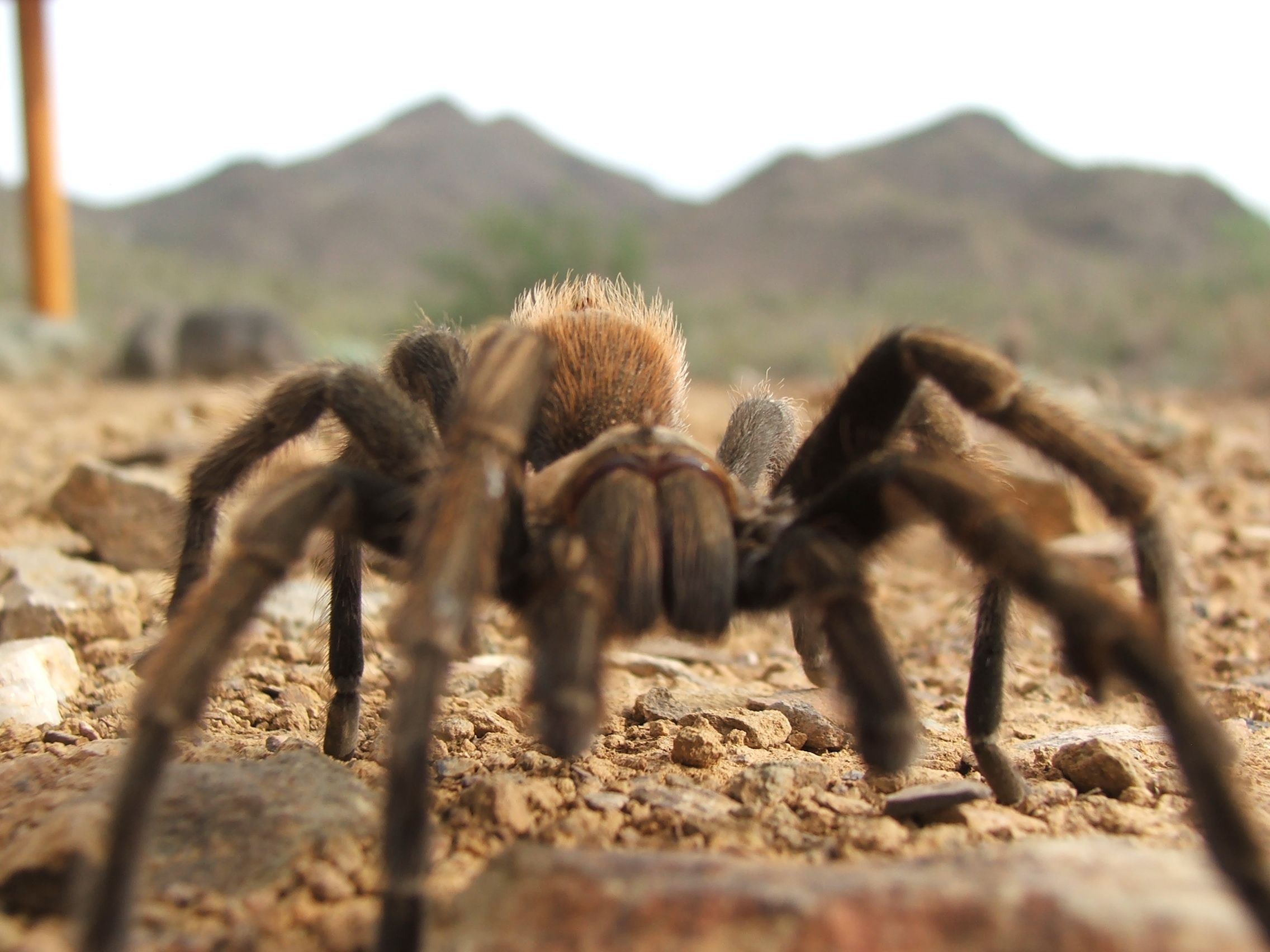 Tarantula at Cave Creek Regional Park Desert animals