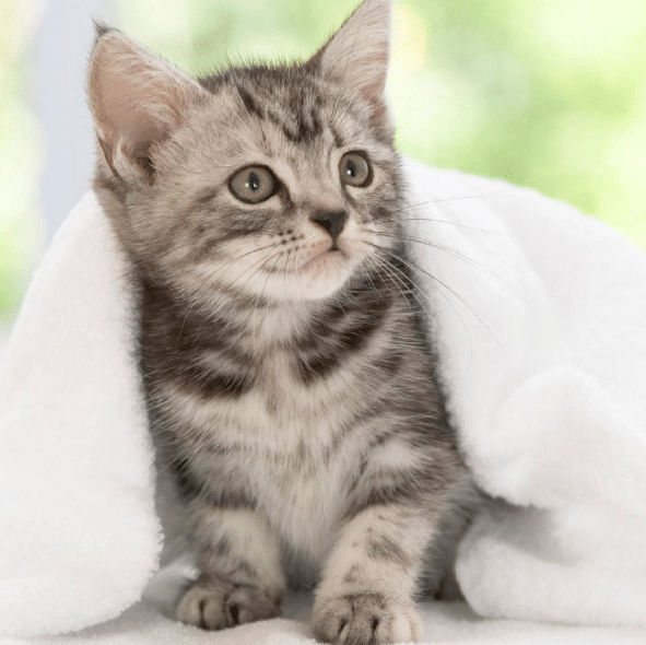 American Wirehair Cat Breeds | American wirehair, Cat and Animal