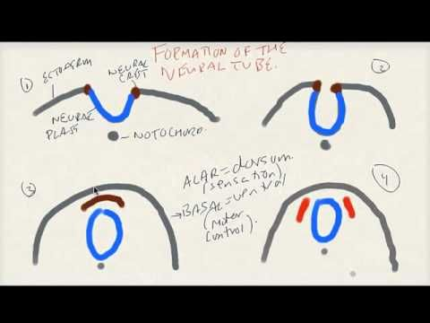 Formation of the Neural Tube (USMLE Tutorial) - YouTube