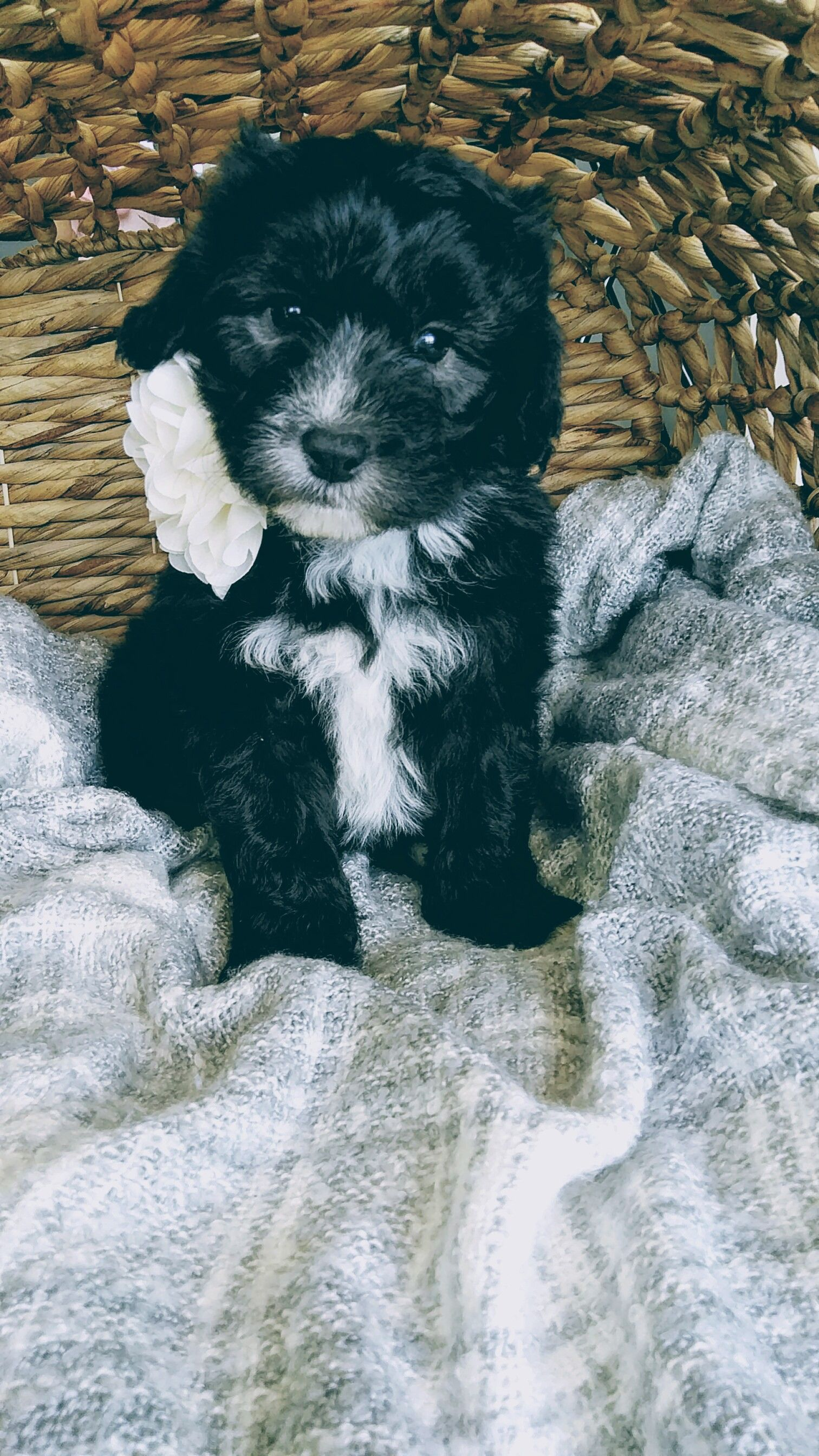 Minka! - a female Mini Sheepadoodle puppy for sale in