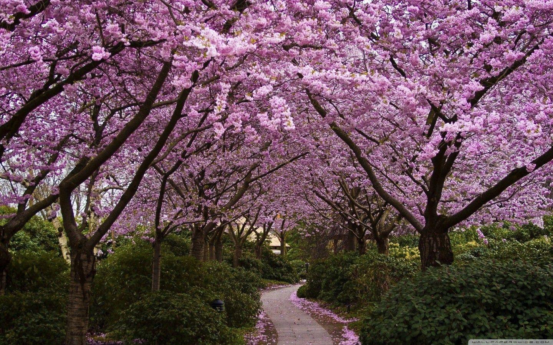 Spring Wallpapers Hd Free Download Wallpapers Backgrounds Images Art Photos Beautiful Gardens Jacaranda Tree Pink Trees