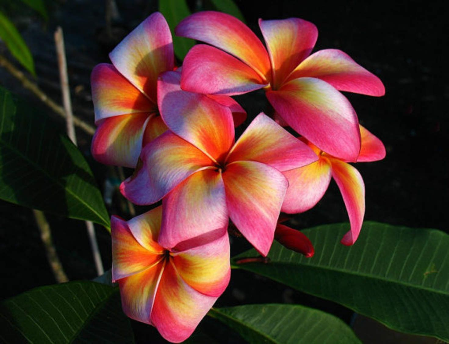 Heirloom 5 Seeds Plumeria mixed Colors Flower Colorful Fresh & High ...