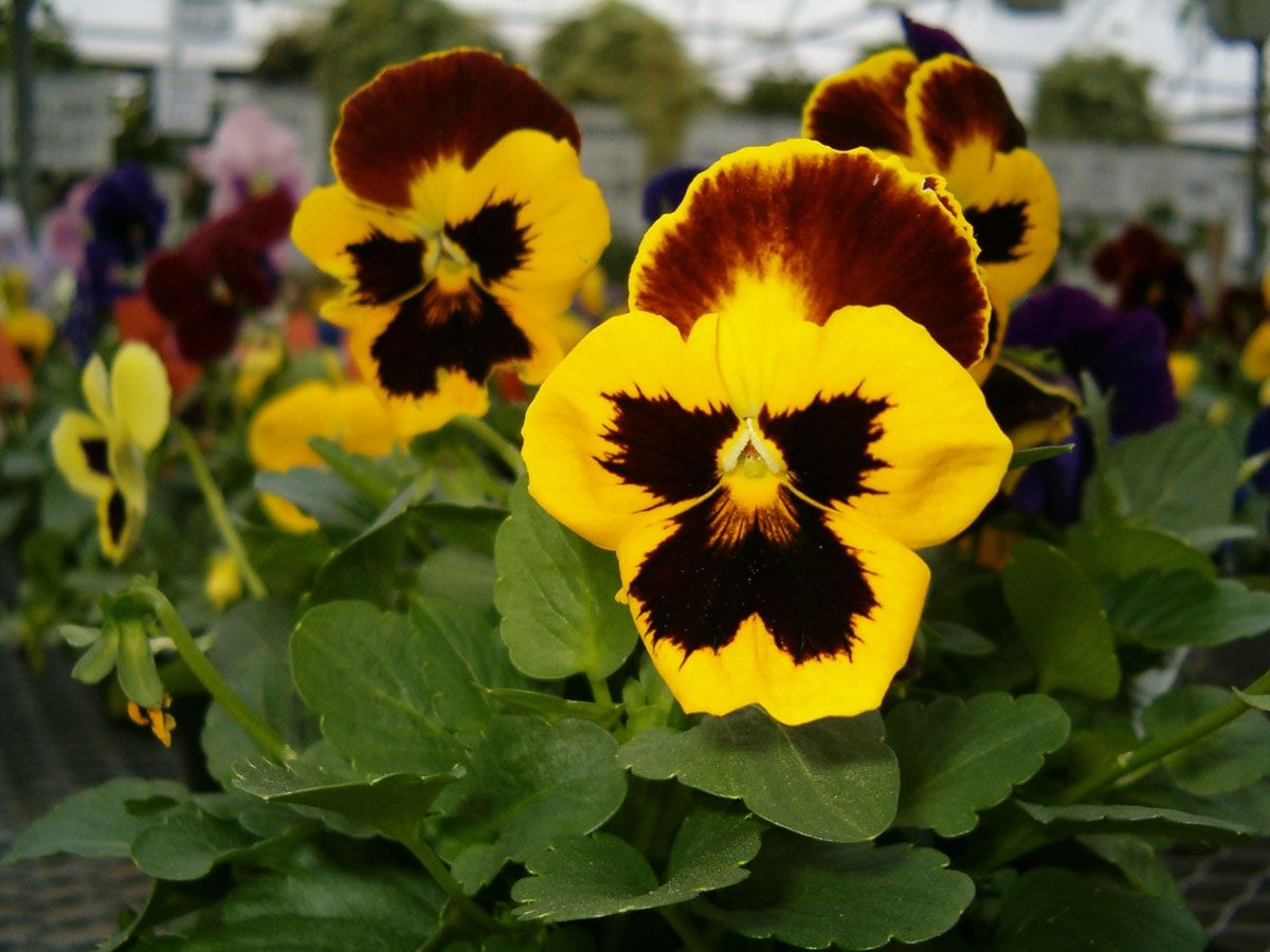 Don T Worry If Your Pansies Look A Bit Peeked After Hard Freezes They Will Perk Up With Warmer Temperatures And Sunlight Deadhead Mushy Flores Rosas Plantas