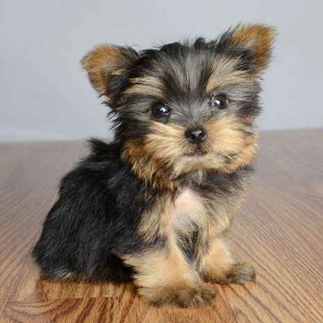 Puppies For Sale Orlando Fl Justpuppies Net Puppies Yorkshire Terrier Puppies Puppies For Sale