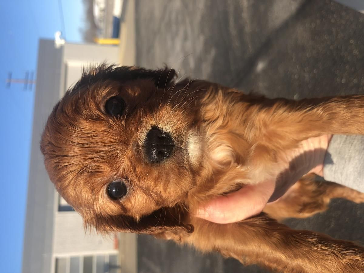 Cavalier King Charles And Cavapoos In Alexandria Minnesota Hoobly Classifieds In 2020 King Charles Spaniels For Sale Cavalier King Charles Spaniel