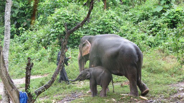 Segundo día en el Centro de Conservación Nacional de Elefantes de Sayaboury (Laos) - Conmimochilacuestas