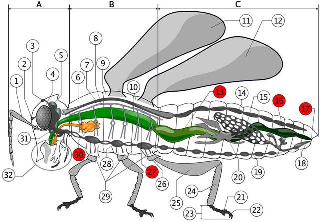 Color diagrams of insect organs and internal structures internal anatomy of an insect color diagrams diagram of the insect digestive system ccuart