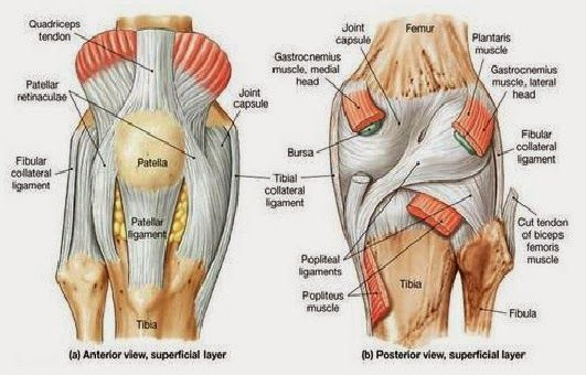 Pin by Jimmy Gillespie on ligament, tendon, joints | Pinterest ...