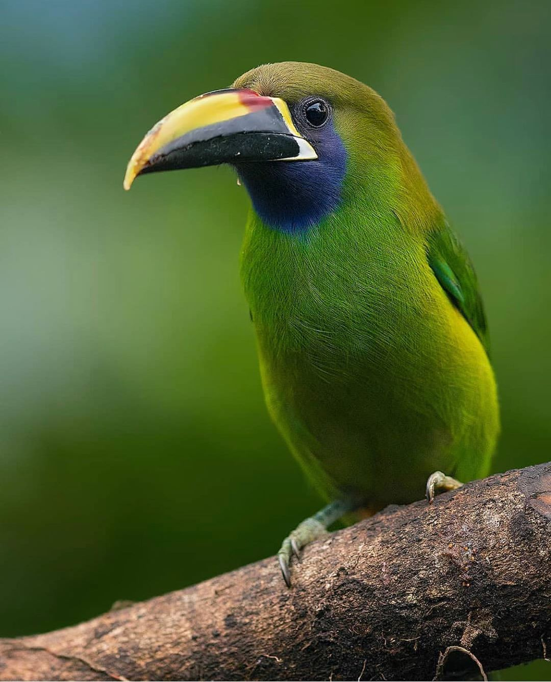Tropical Photo Tours On Instagram One Of The Beautiful Toucans You Will See During A Trip With Us To Costa Rican Is This Emerald Toucanet Our Work Aves Tucan