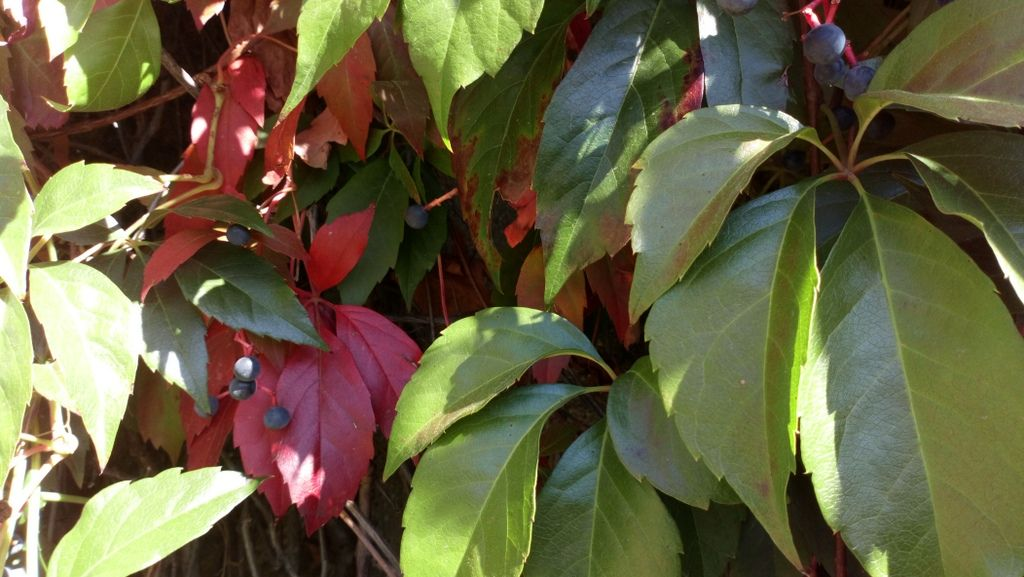 Parthenocissus quinquefolia (L.) Planch. Trepadora de hoja caduca ...