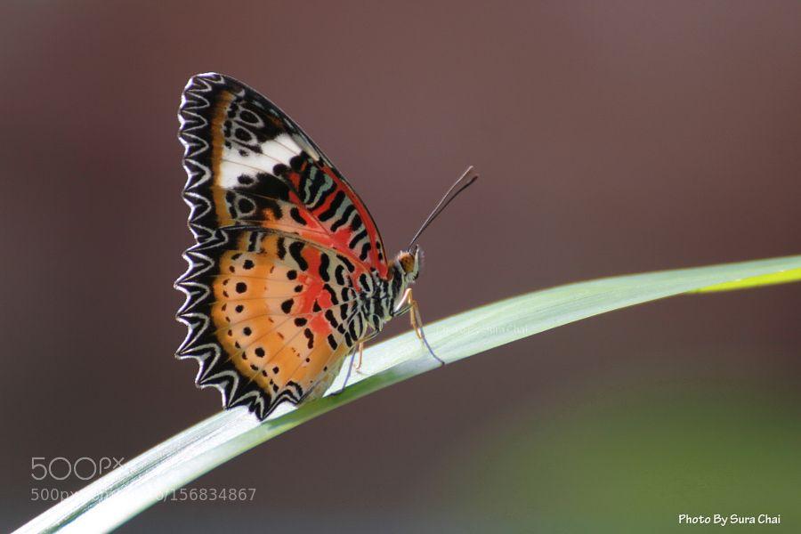 butterfly by SuraChai1. @go4fotos