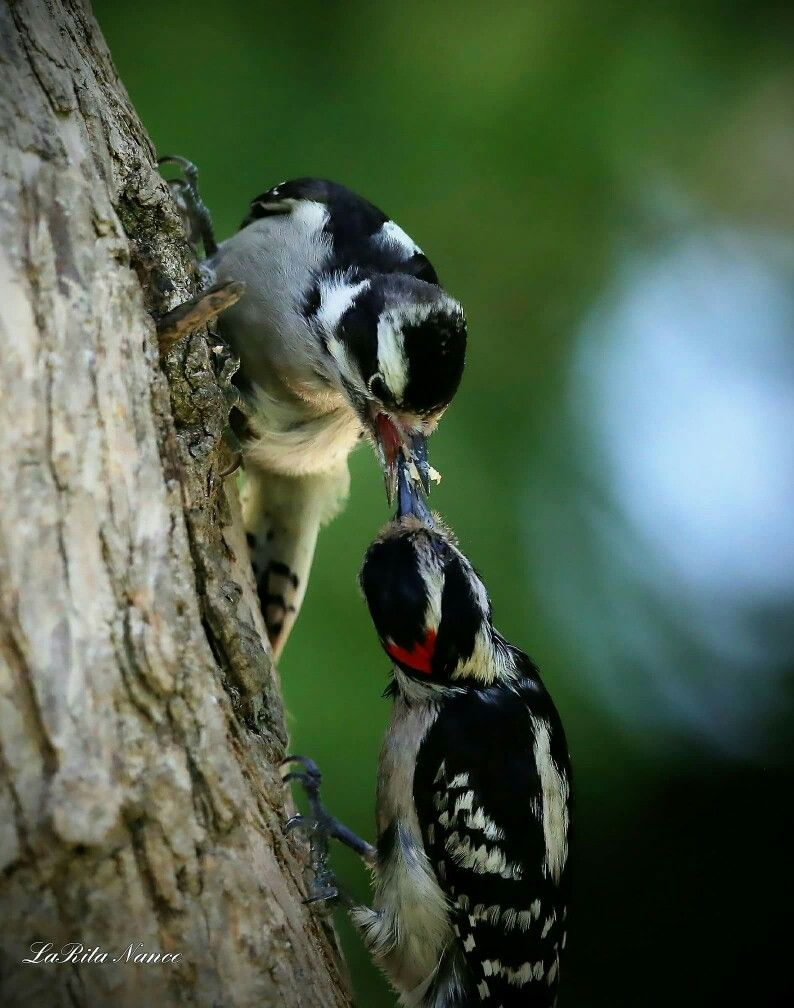 Downey woodpeckers johnson county southern illinois