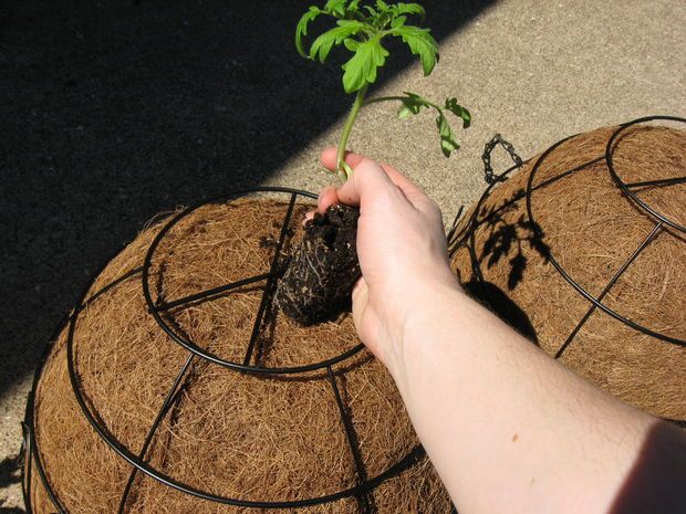 How To Plant Hanging Upsidedown Tomatoes Tomato Garden 400 x 300