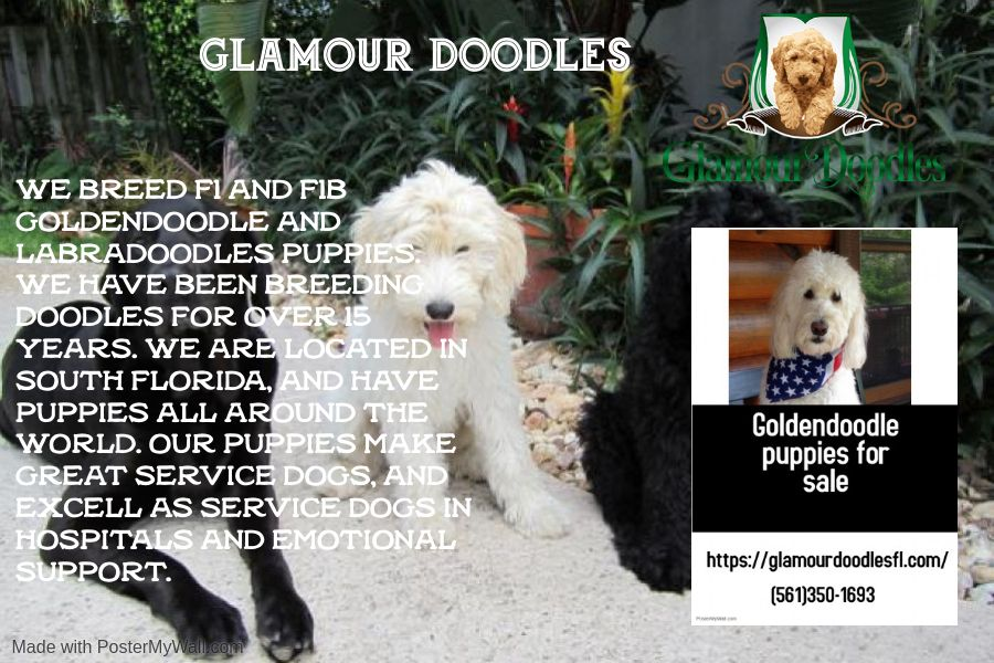 Are You Looking For Miami Labradoodle Breeders Glamour Doodles