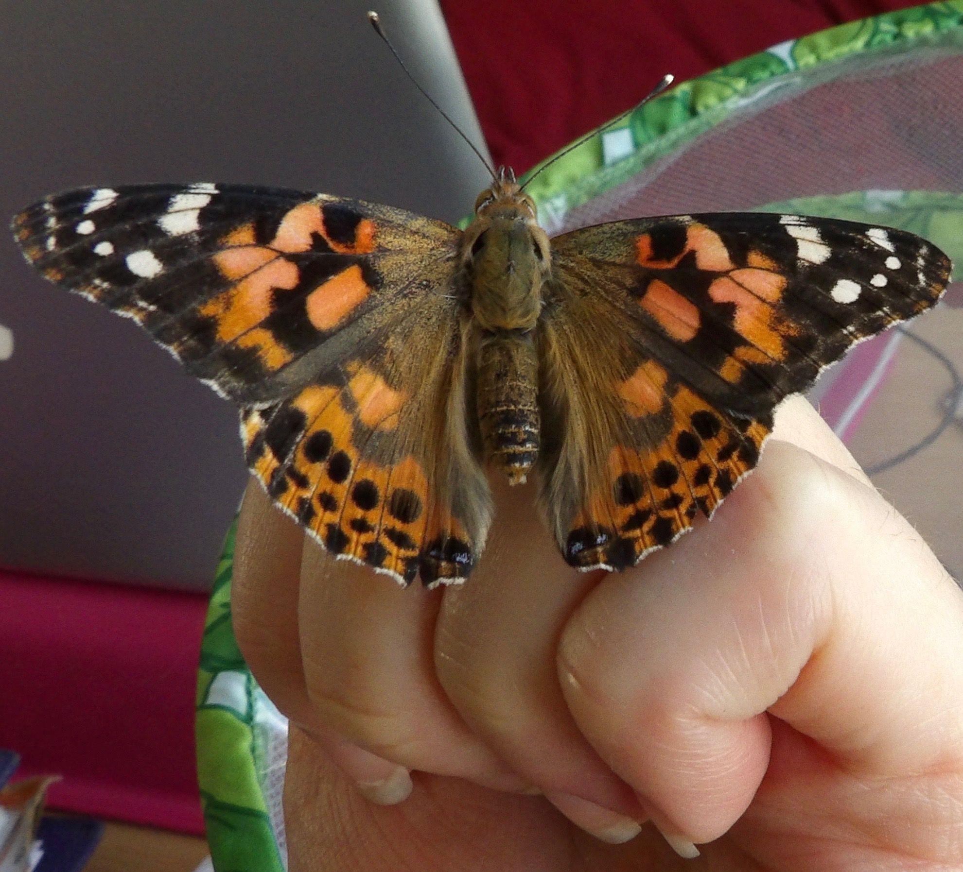 #PaintedLadyButterfly #WildLIfe #MiniBeast #Nature
