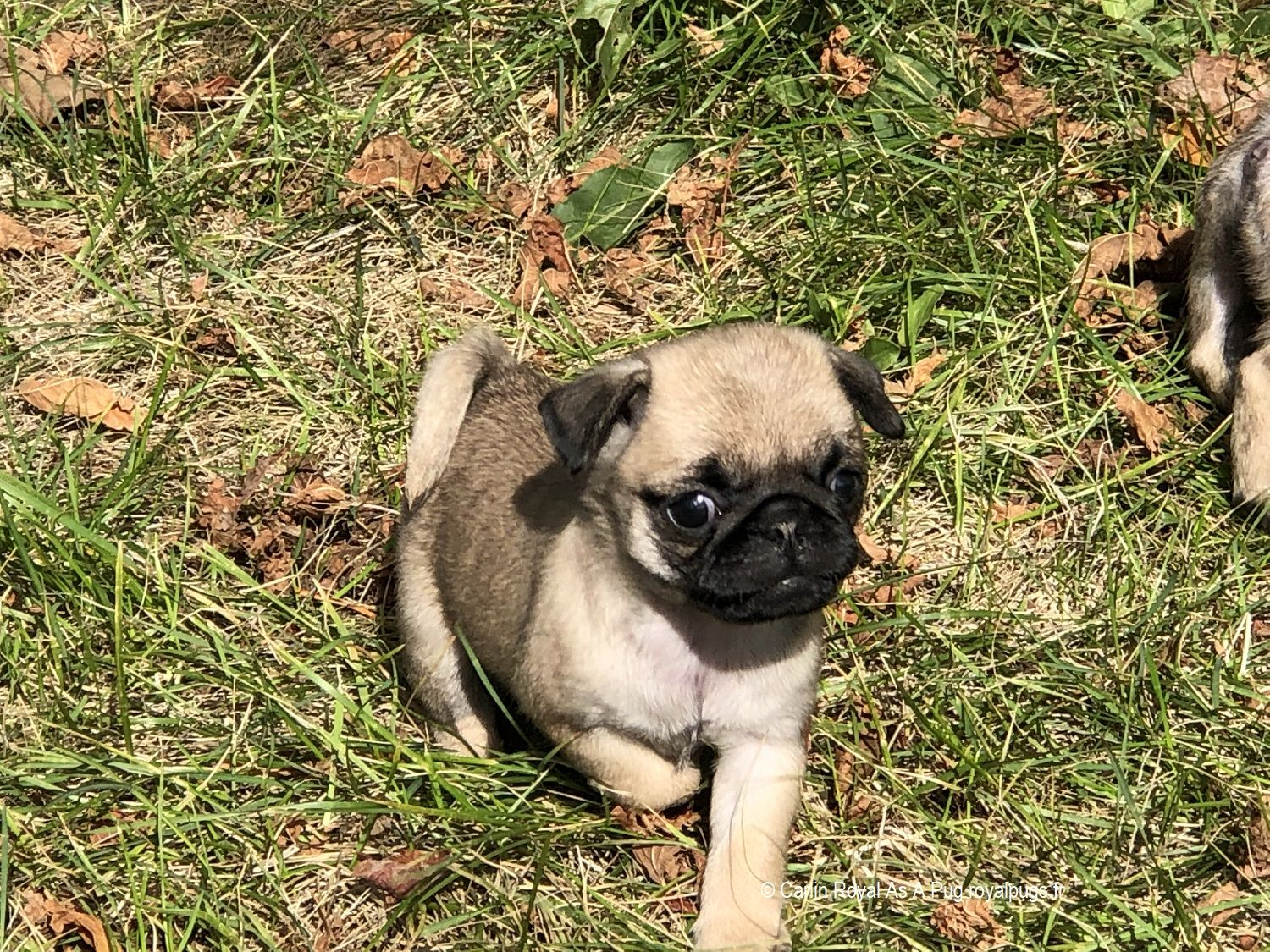 Walking My Puppies Back Home Pug Puppies Pug Breeders Cute