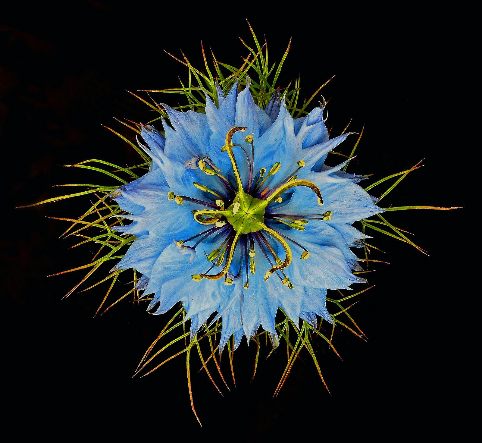 Nigella Damascena Virtual Flowers Special Flowers Real Flowers