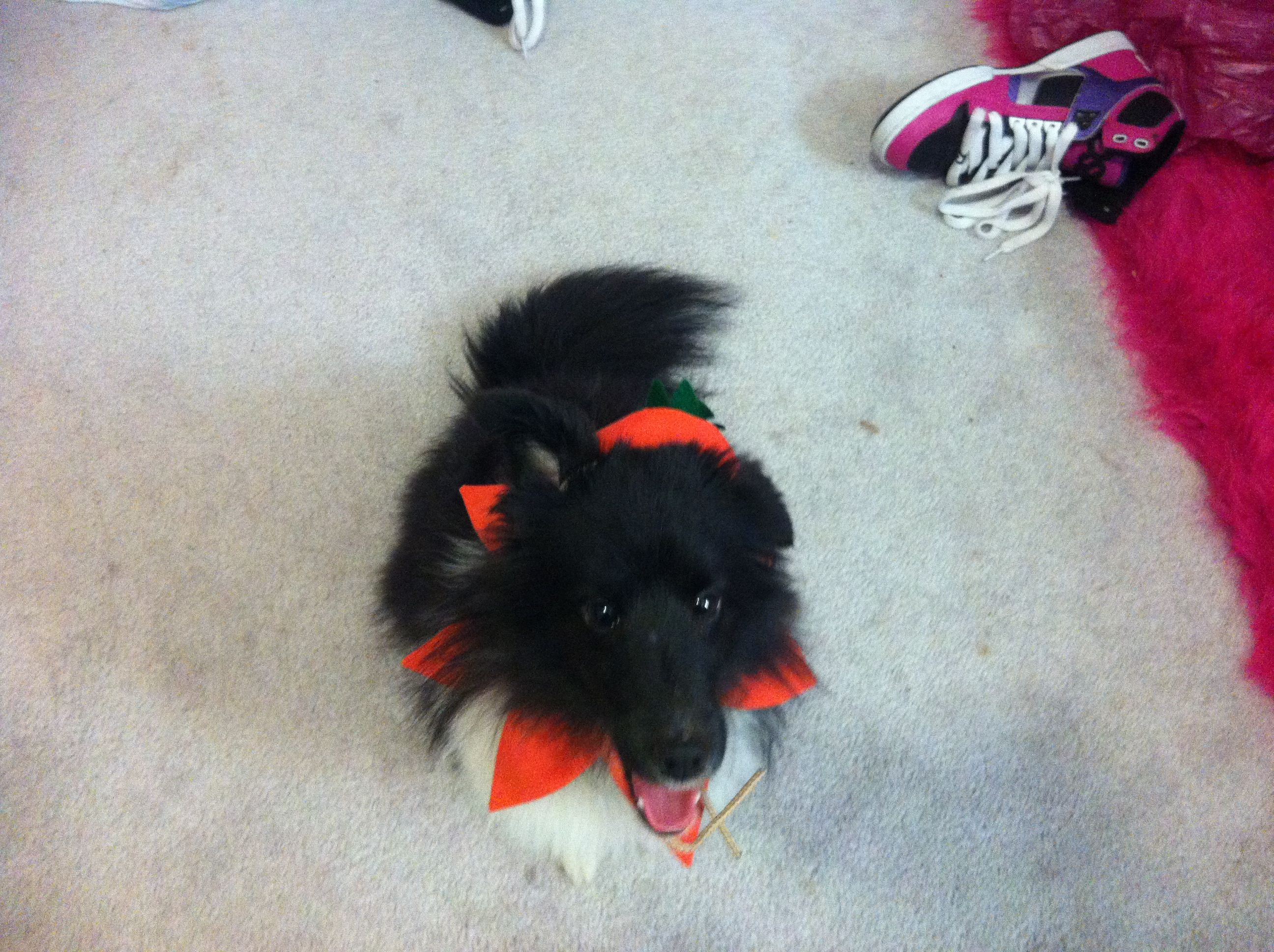 My sheltie as a pumpkin