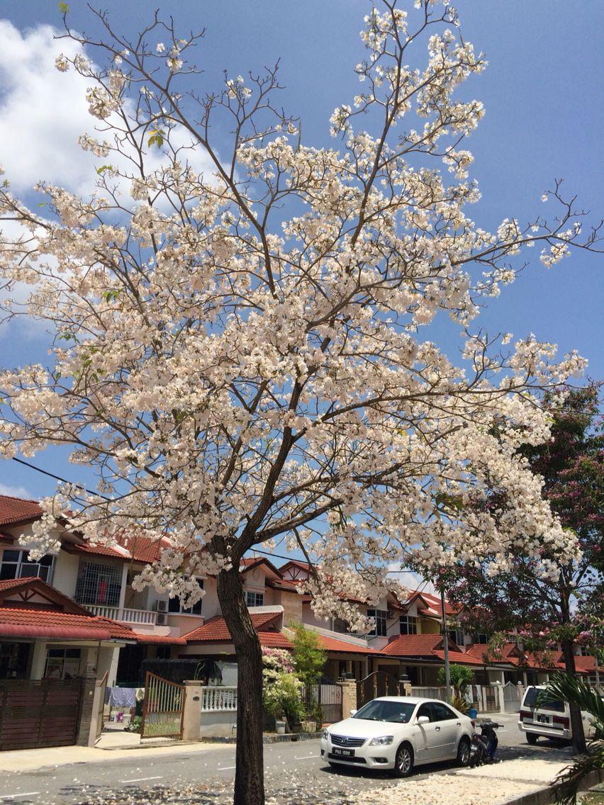 Perfect White Trumpet Flowers Against The Blue Sky Tabebuia Rosea Flowering Trees Blue Sky Sky