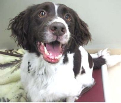 Animal Details With Images Dog Poses Humane Society English Springer Spaniel
