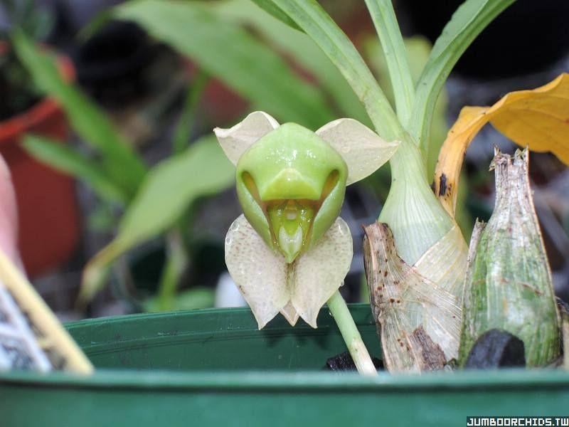 Catasetum albovirens