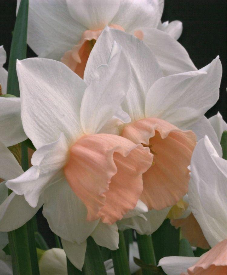 Narcissus Katie Heath Triandrus Narcissi Narcissi Flower Bulb Index Bulb Flowers Flower Aesthetic Flowers