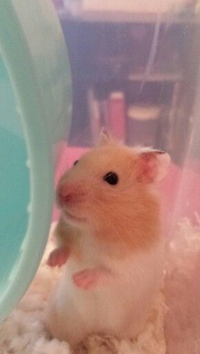 Cream Banded Syrian Hamster 3 Baby Animals Super Cute Cute