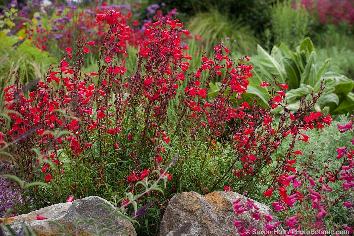 Photographing The Late Summer Garden Red Dirt Ramblings Penstemon