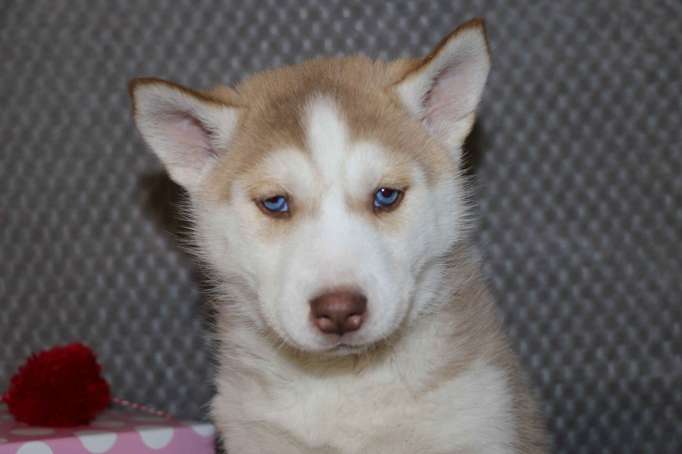 Betsy A Female Akc Siberian Husky Puppy For Sale In Bremen In