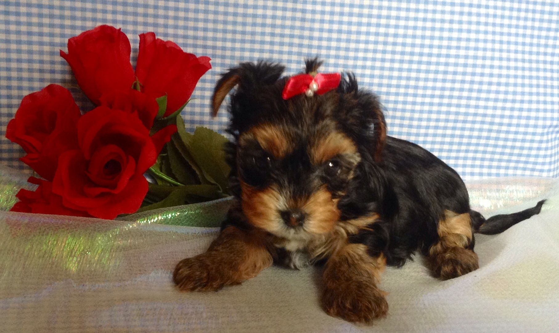 4 Yorkshire Terrier Puppies For Sale For 500 Go To Chicagoyorkie Wix Com Chicagoyorkies Have Any Questions Com Yorkshire Terrier Puppies Dog Breeds Terrier