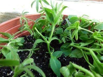 how to grow petunia seeds video
